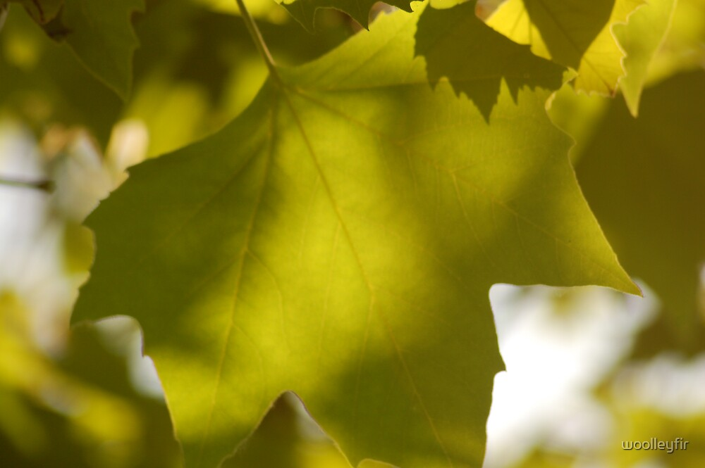 summer leaf by woolleyfir