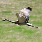 Sandhill Crane in Flight by Alyce Taylor