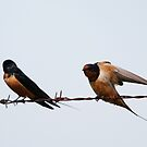 Barn Swallows by Alyce Taylor