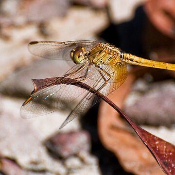 Dragonfly by scatrdjason