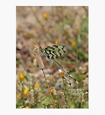 Grecian Streamertail Photographic Print