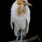 Cattle Egret by Lisa  Kenny