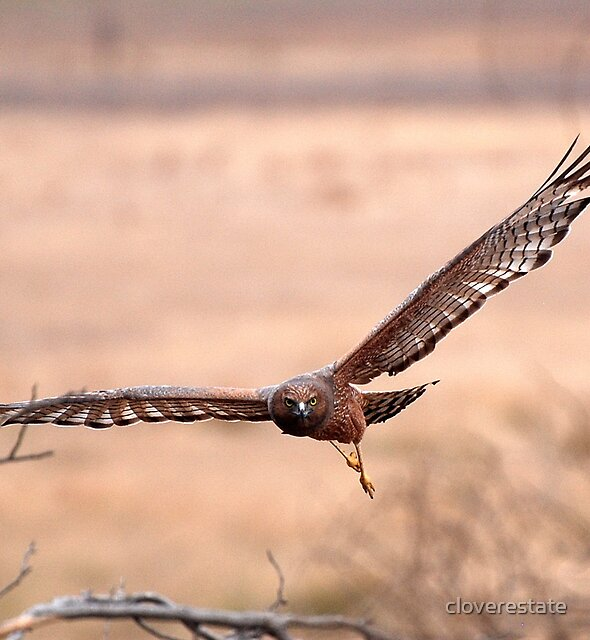spotted harrier by cloverestate