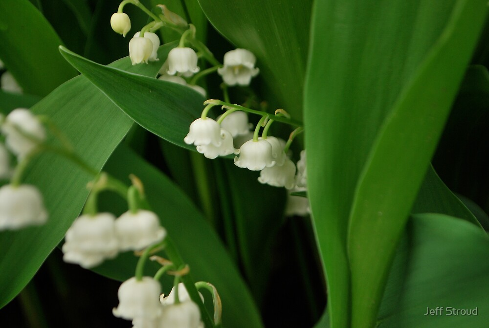 Lily's of the valley.  by Jeff stroud