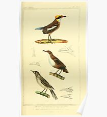 The Animal Kingdom by Georges Cuvier, PA Latreille, and Henry McMurtrie 1834 661 - Aves Avians Birds Poster