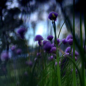 Blooming Lavender Chive Herb by macduffstudio