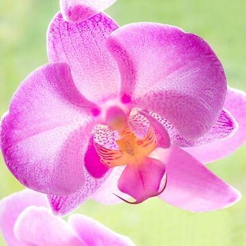 Backlit Iris by Femaleform
