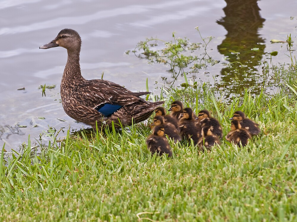 Family Of Ducks by David Akers