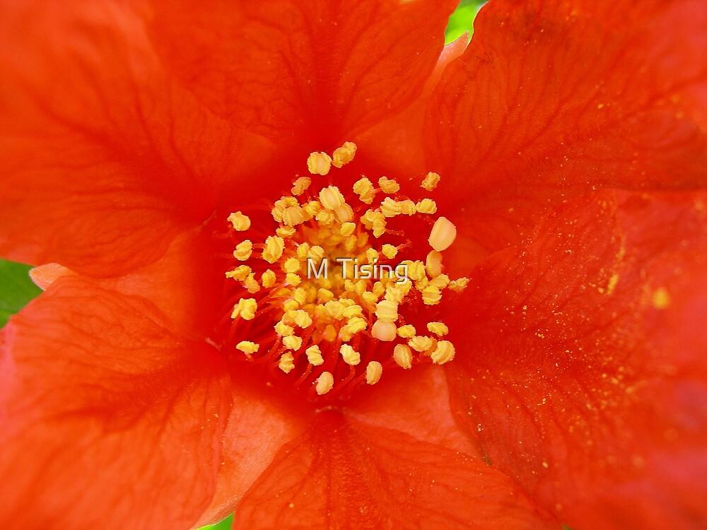 Pomegranate flower by M Tising