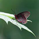 Butterfly by julayneluu