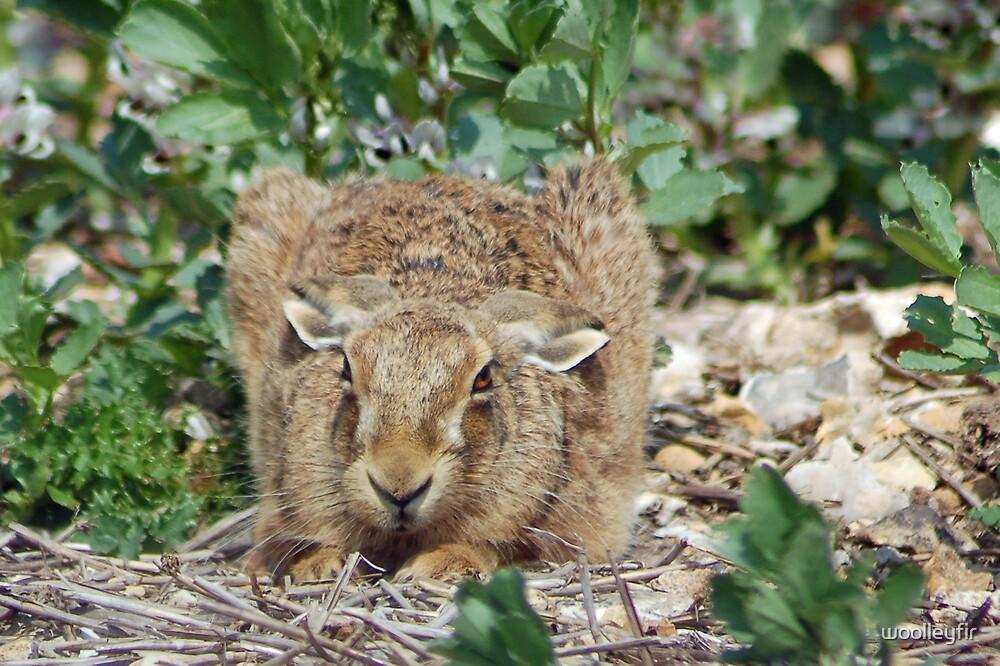 Hare by woolleyfir