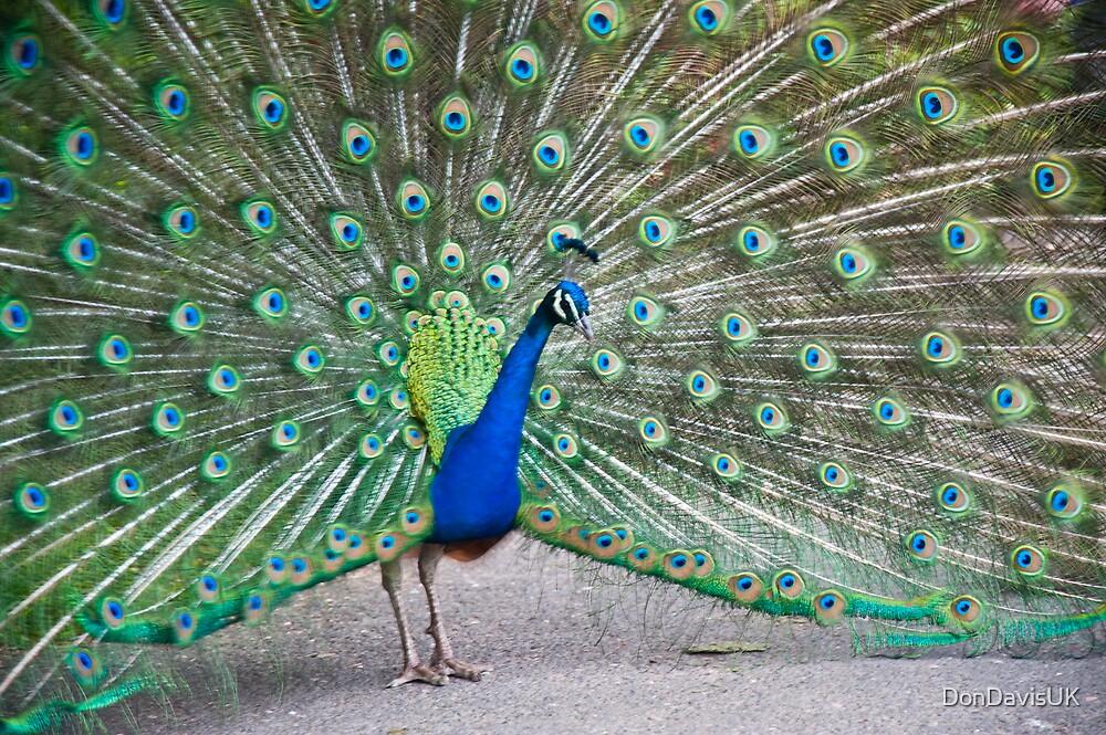 Proud as a Peacock by DonDavisUK