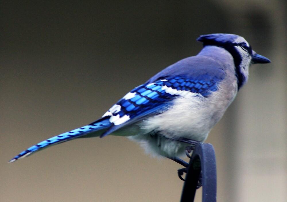 *BLUE JAY* by Van Coleman