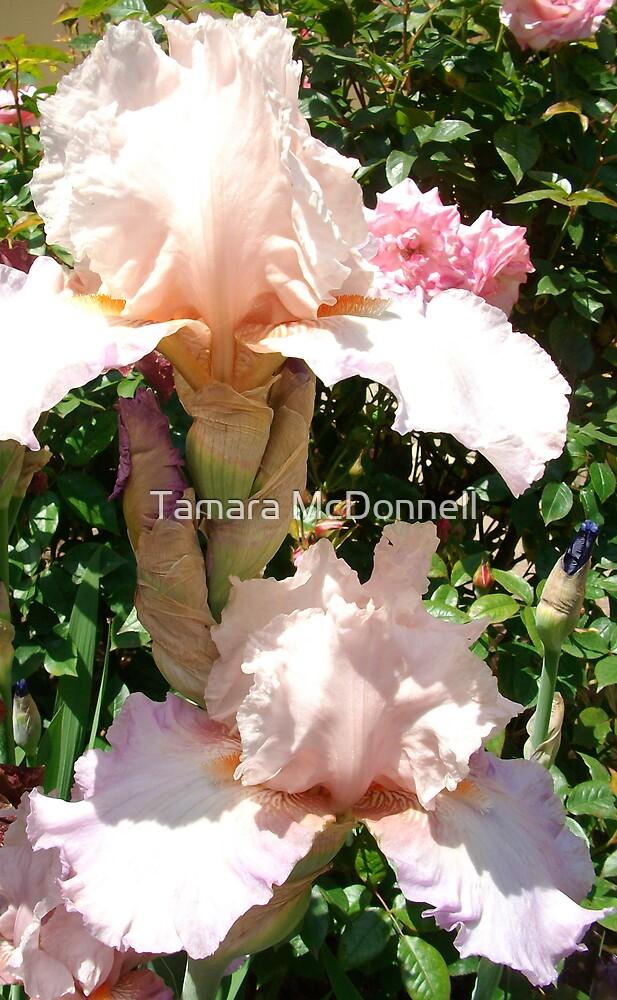 Pale Pink Iris by Tamara Lindsey
