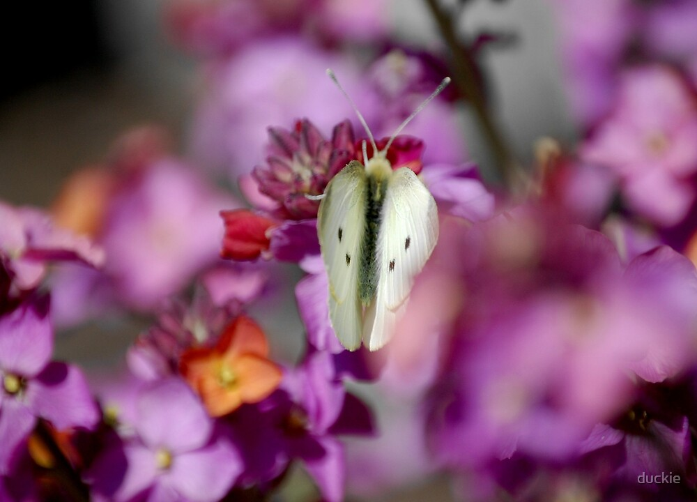 Spot the white butterfly by duckie