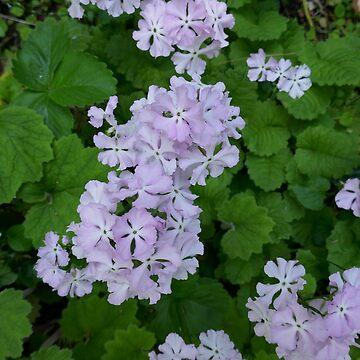 Pale Pink Primroses by BettyMackey