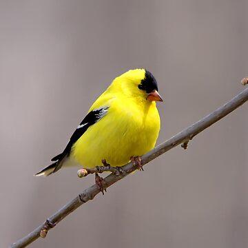 American Goldfinch by DiamondWillow