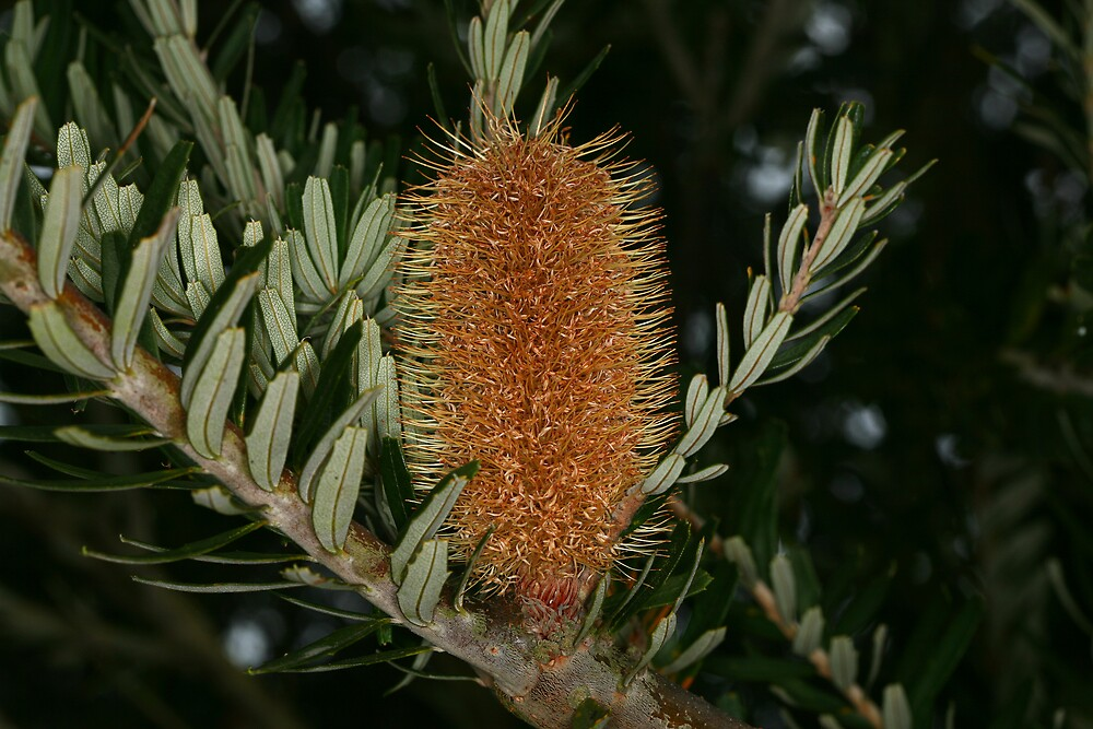 Banksia by CaseyConnor