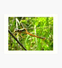 Spreadwing  Damselfly Shows its Teeth  Art Print