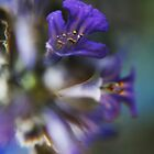 Violet  (from wild flowers collection) by Antanas