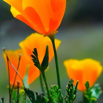California Poppy by eyalna