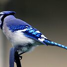 *BLUE JAY II* by Van Coleman