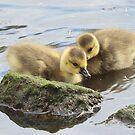 Canada Goslings by Carl Olsen