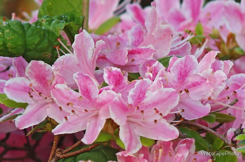Pink Azalea by WatscapePhoto