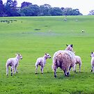 The Sheep of Hadrian's Wall by rsangsterkelly