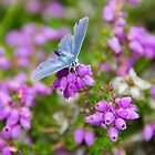 Common Blue by Kasia-D