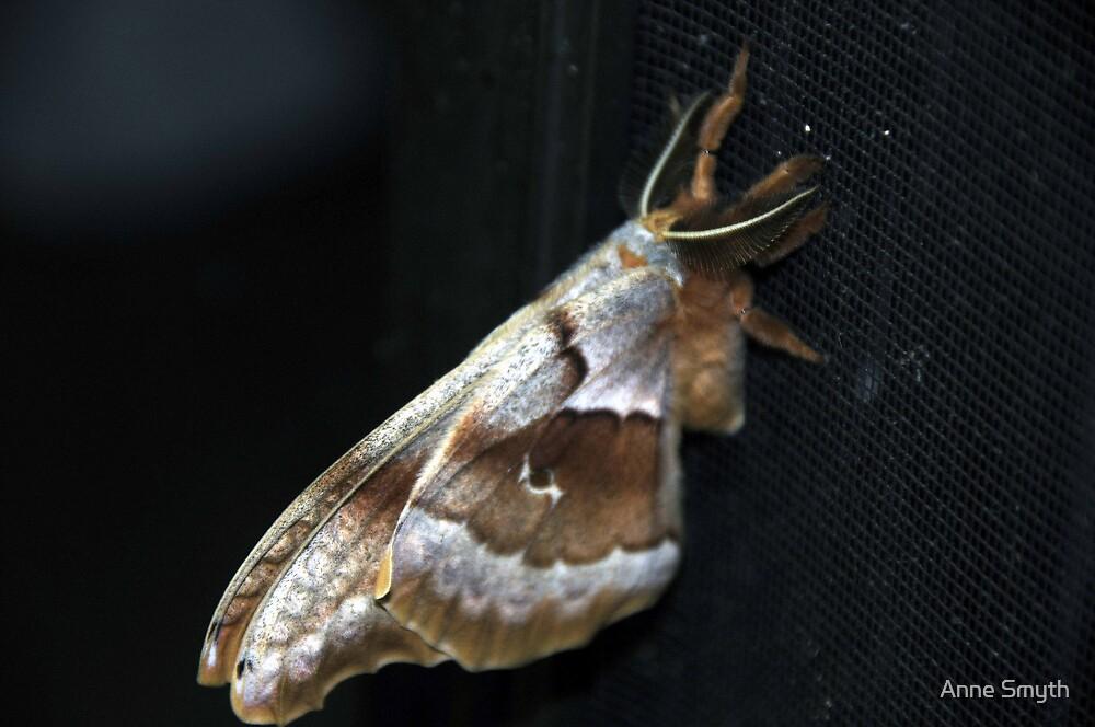Polyphemus Moth 2 by Anne Smyth