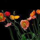 Colorful poppies by LudaNayvelt