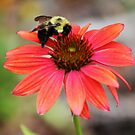 Bumble Bee On Coneflower by Cynthia48