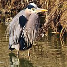 Great Blue Heron by MaluC