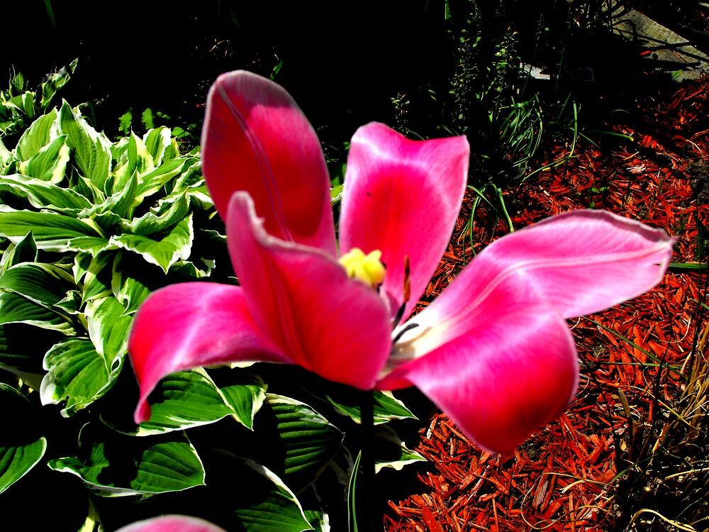 Red Tulip by Dennis Burlingham