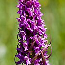 Early Marsh Orchid (Dactylorhiza incarnata) by Steve Chilton
