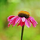 Pink Pop Coneflower by Cynthia48