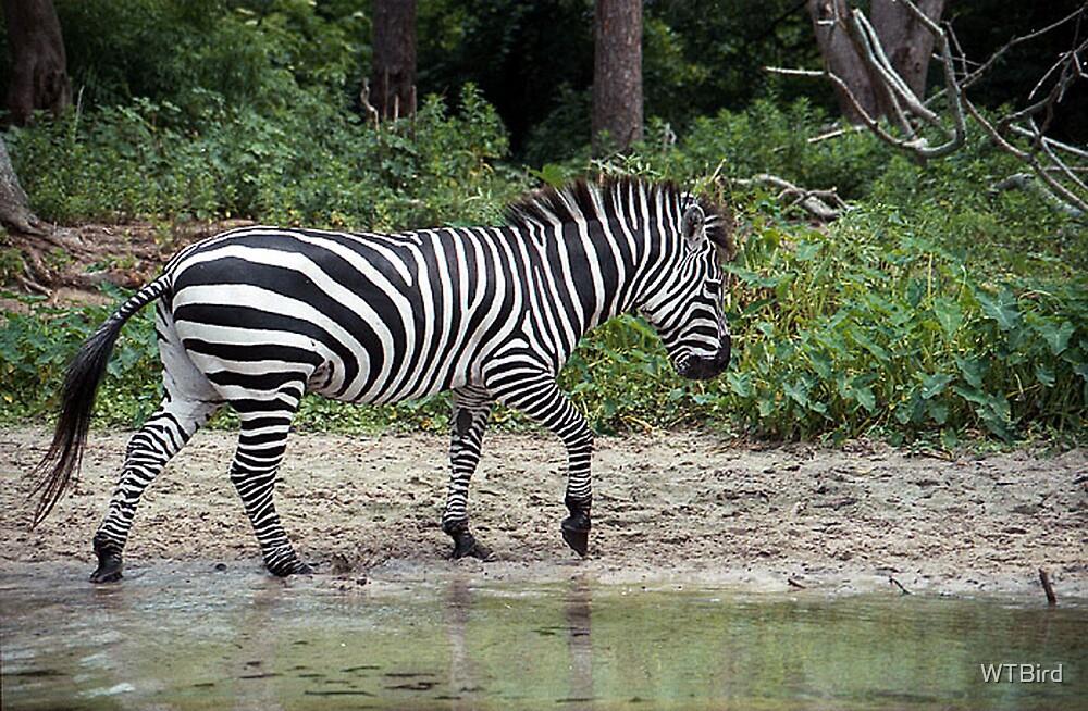 Zebra Creek by WTBird