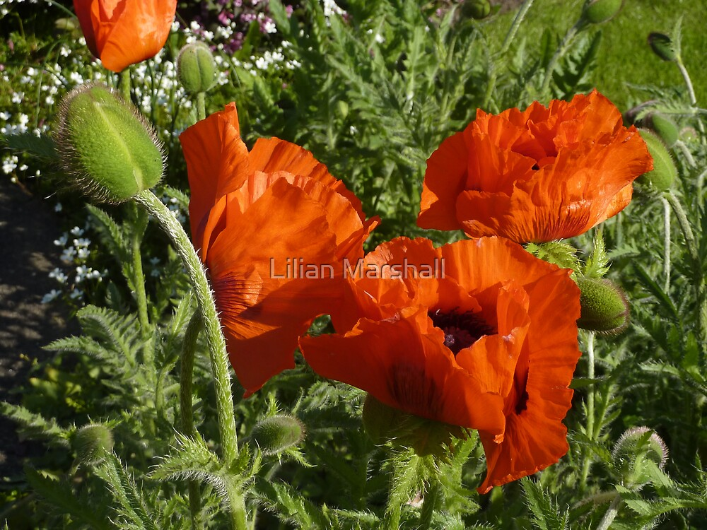 POPPIES by Lilian Marshall