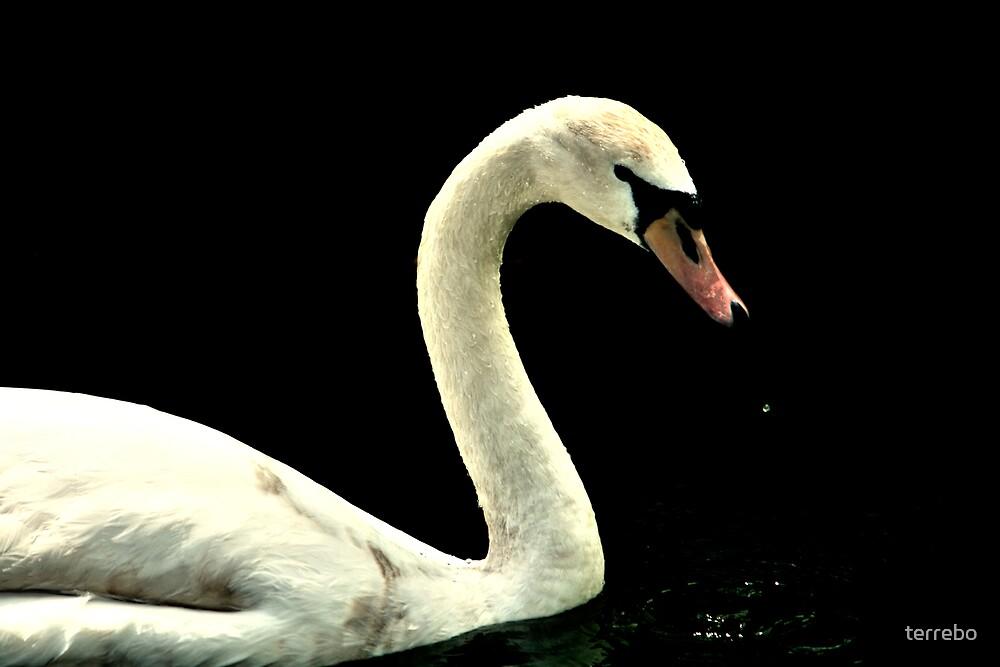 White Swan by terrebo