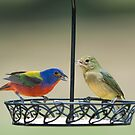 Painted Bunting Pair by Bonnie T.  Barry