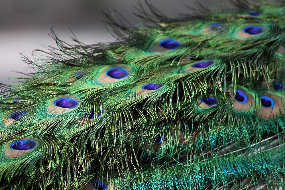 PEACOCK FEATHERS by mlynnd