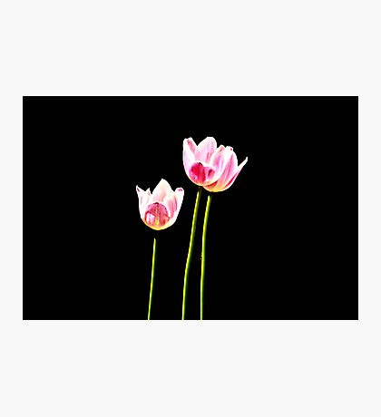 Pink Tulip in Light Photographic Print