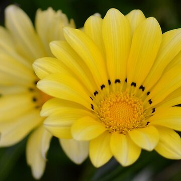 Petals of yellow by lizdomett