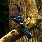 What Pretty Wings You Have, Mr. Bluejay  by DottieDees