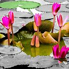 Emerging water lilies, Pattaya, Thailand by indiafrank