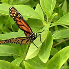 Monarch Holding Tight by Rosalie Scanlon