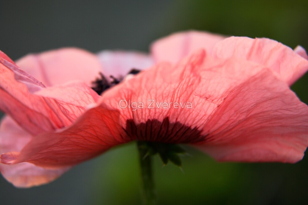 Pink Poppy by Olga Zvereva