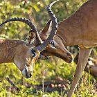 Locking Horns by Viv Thompson