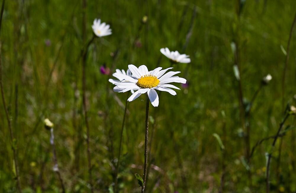 Wild daisy by mausue